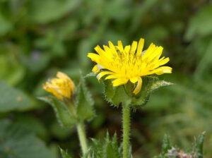 Flor picris