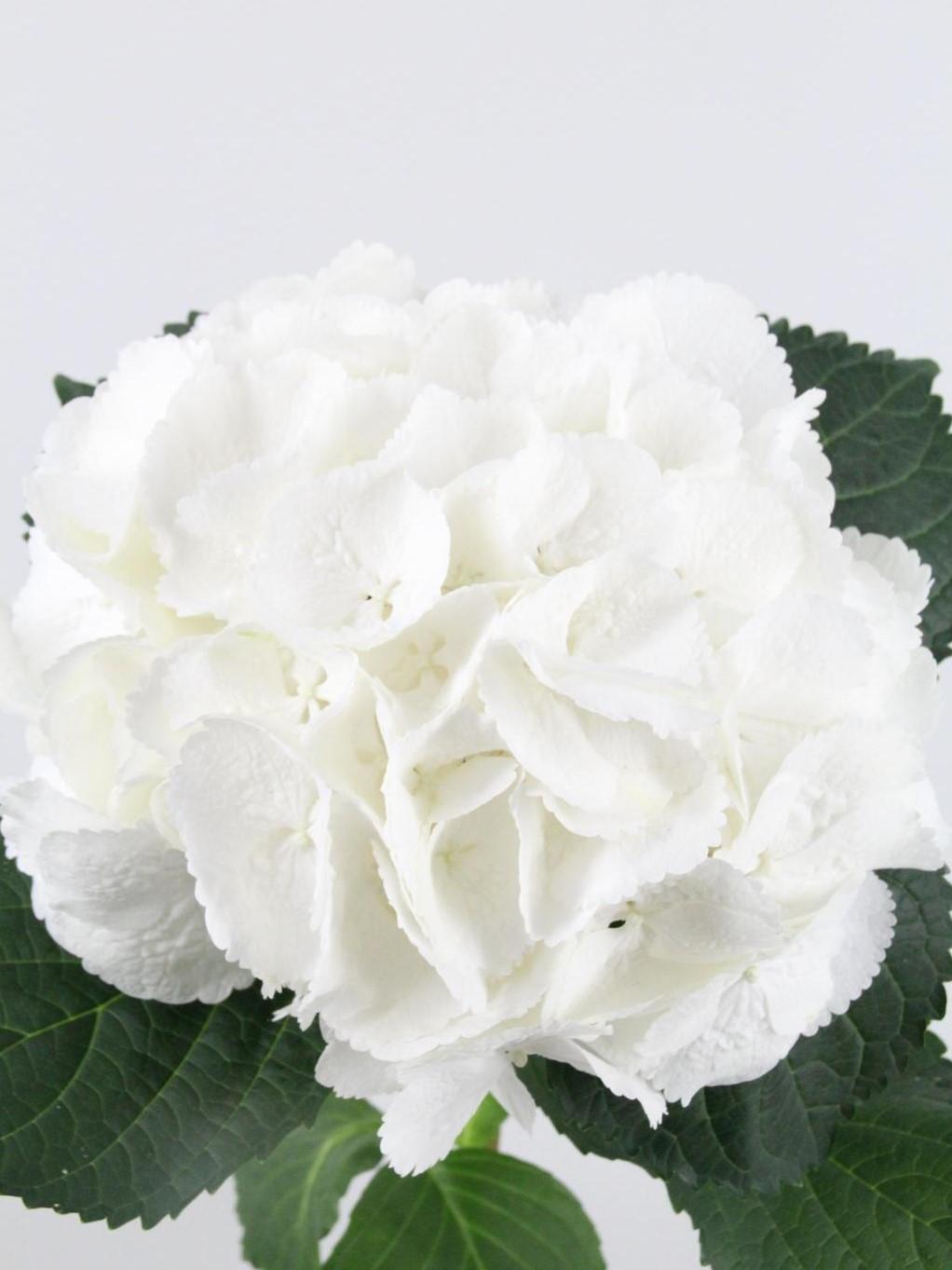 Hortensia Blanca