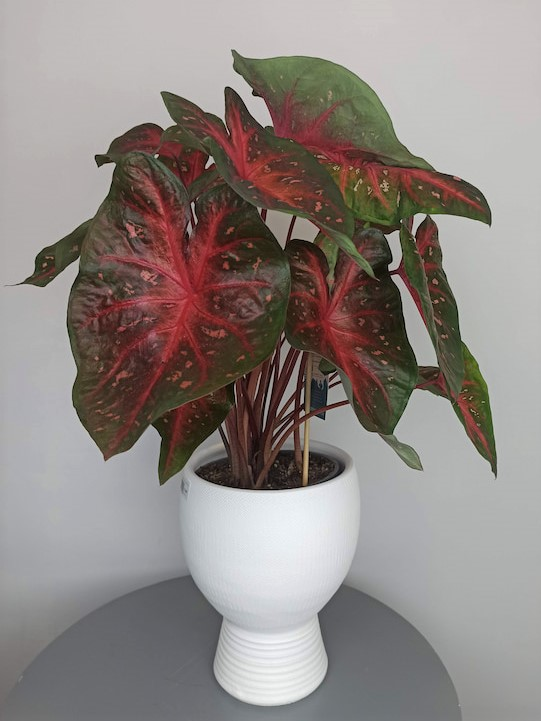 planta caladium comprar