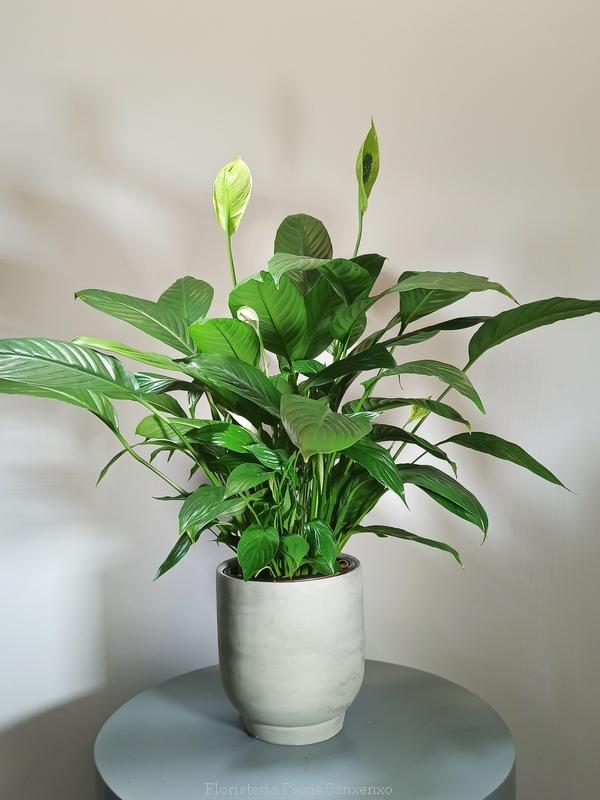 Planta Spatiphilium