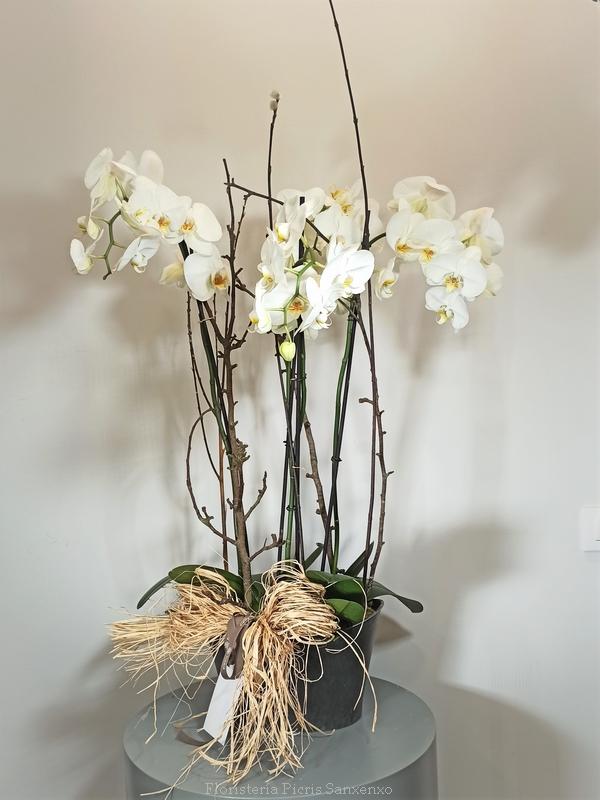 Orquídeas phalenopsis blancas