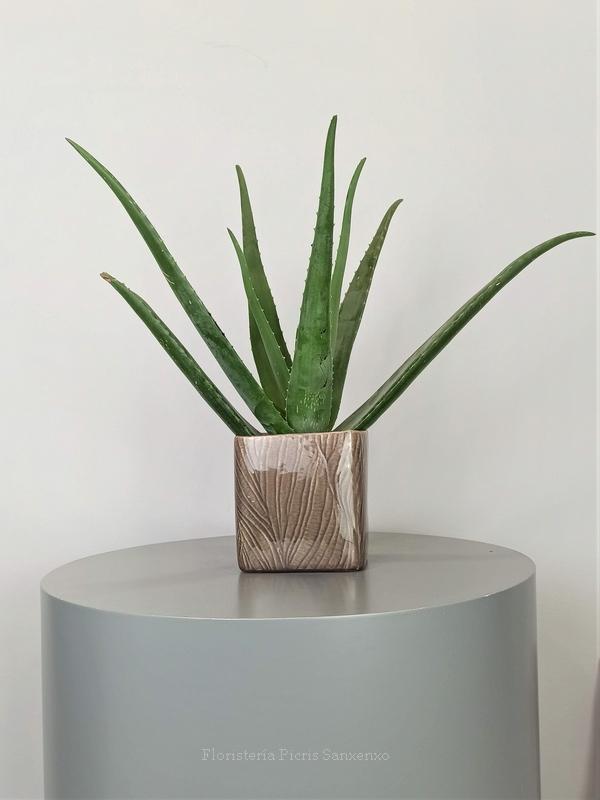 Planta Aloe Vera con Maceta
