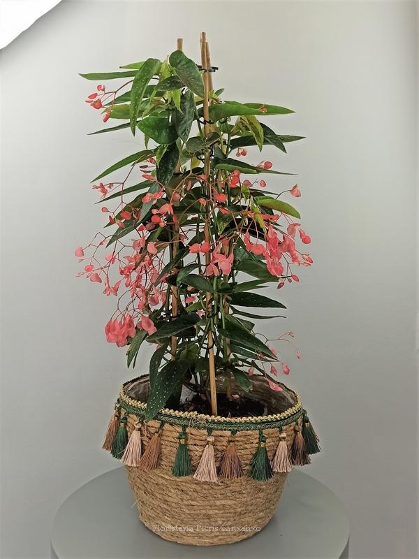 planta begonia corallina