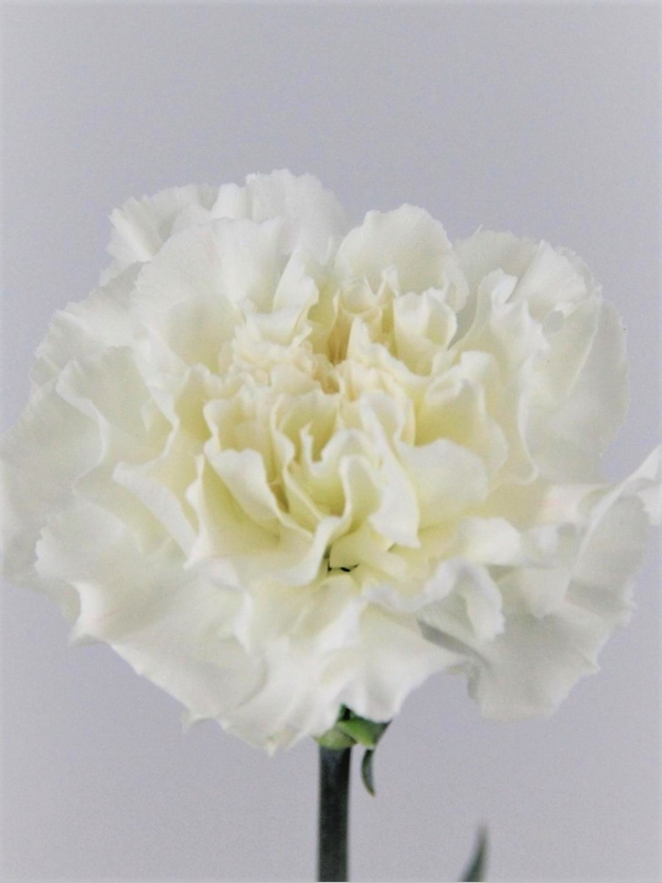 clavel blanco