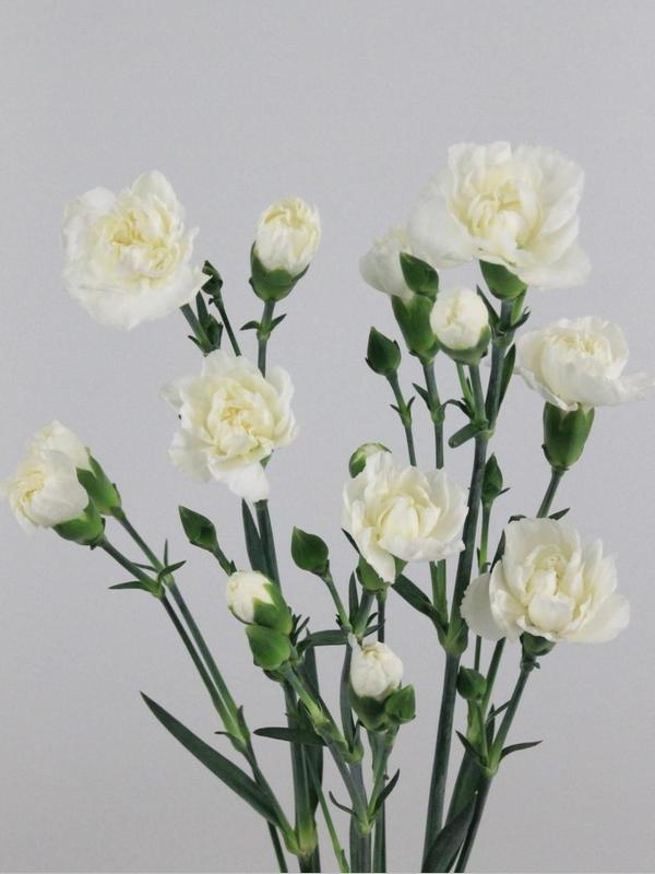 clavelina blanca