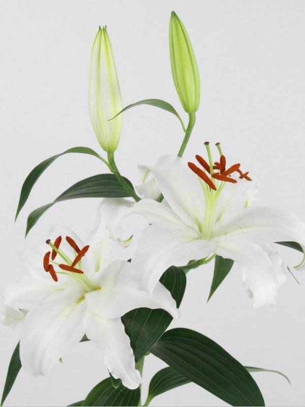 lilium 2 flores