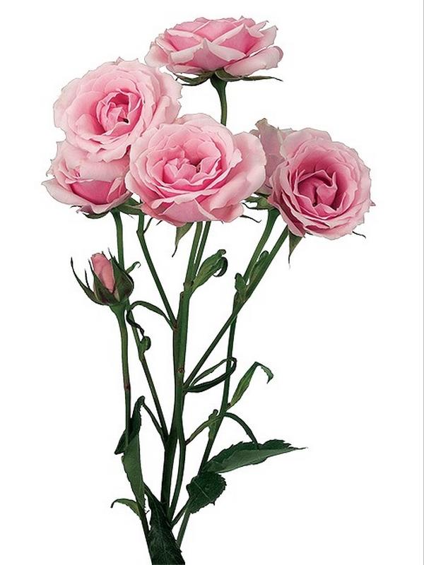 rosa spray