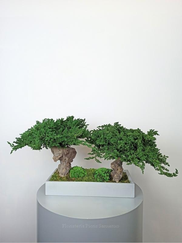 bonsai dúo preservados