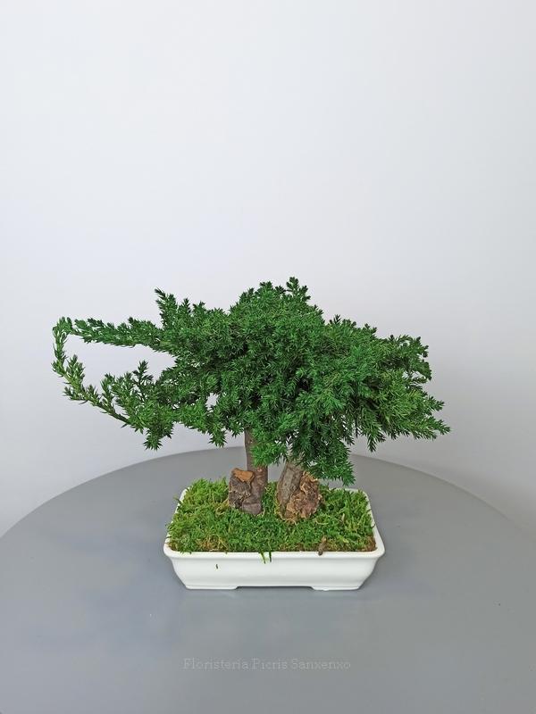 bonsai petit preservado