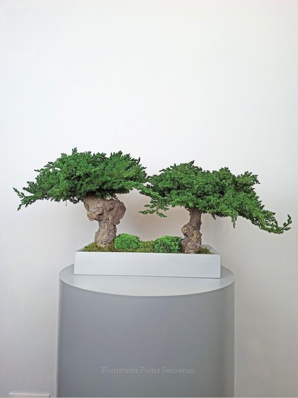 bonsai preservados duo