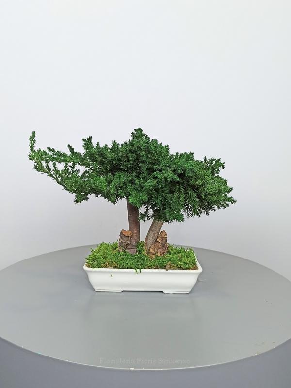 bonsai 25 preservado
