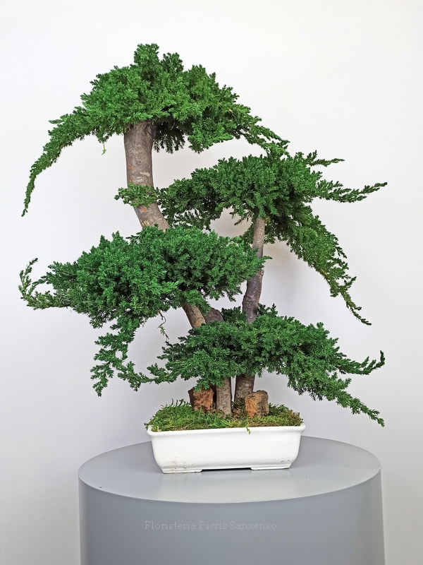 bonsai grande preservado