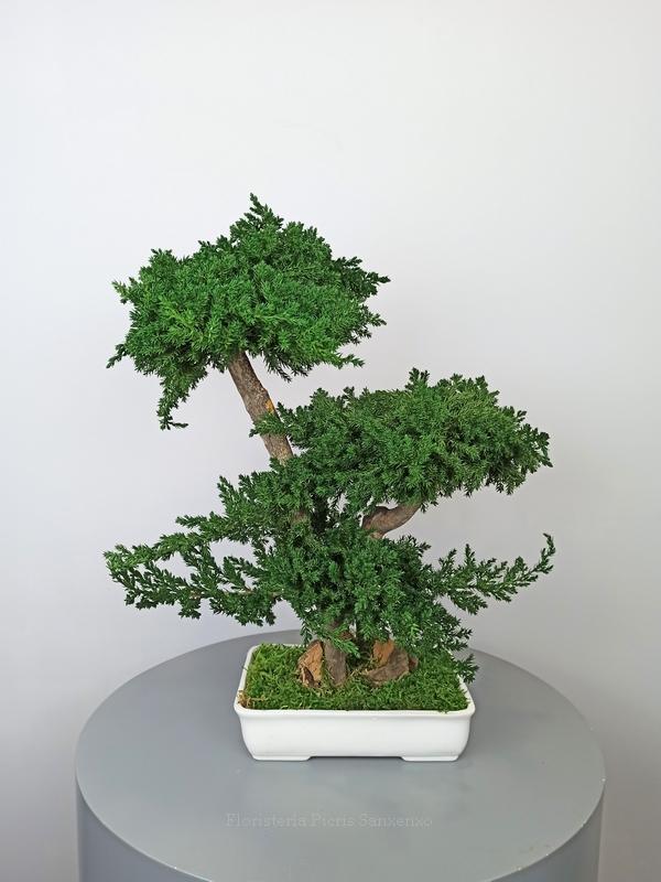 bonsai preservado mediano