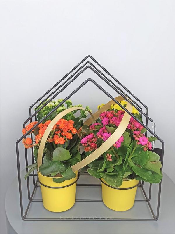 casita de plantas kalanchoe