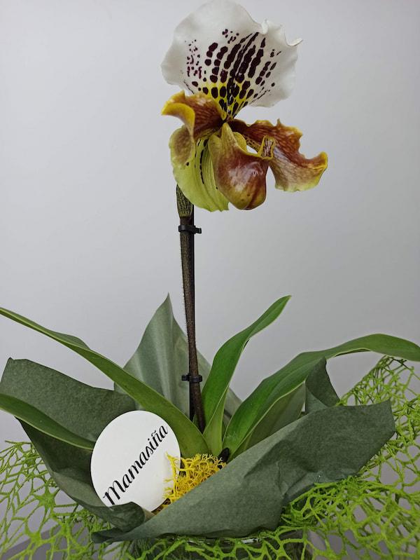 orquidea zapato venus