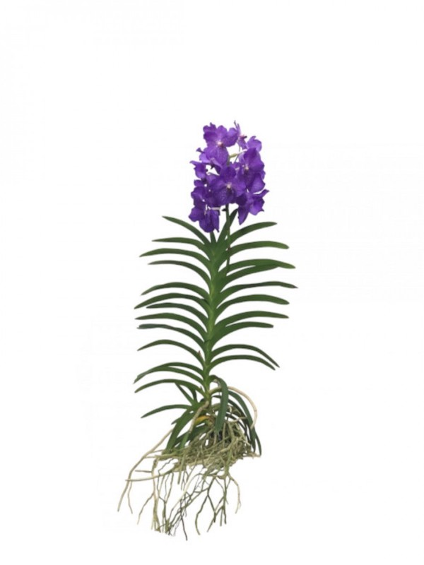 Orquídea vanda lila