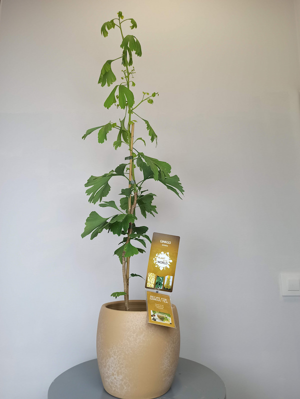 gingko biloba planta