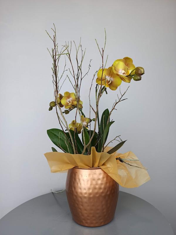 phalenopsis las vegas regalo