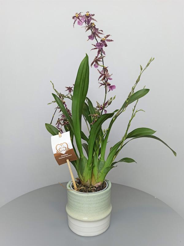 orquidea olor chocolate
