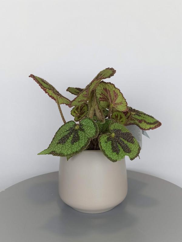 begonia masoniana pequeña