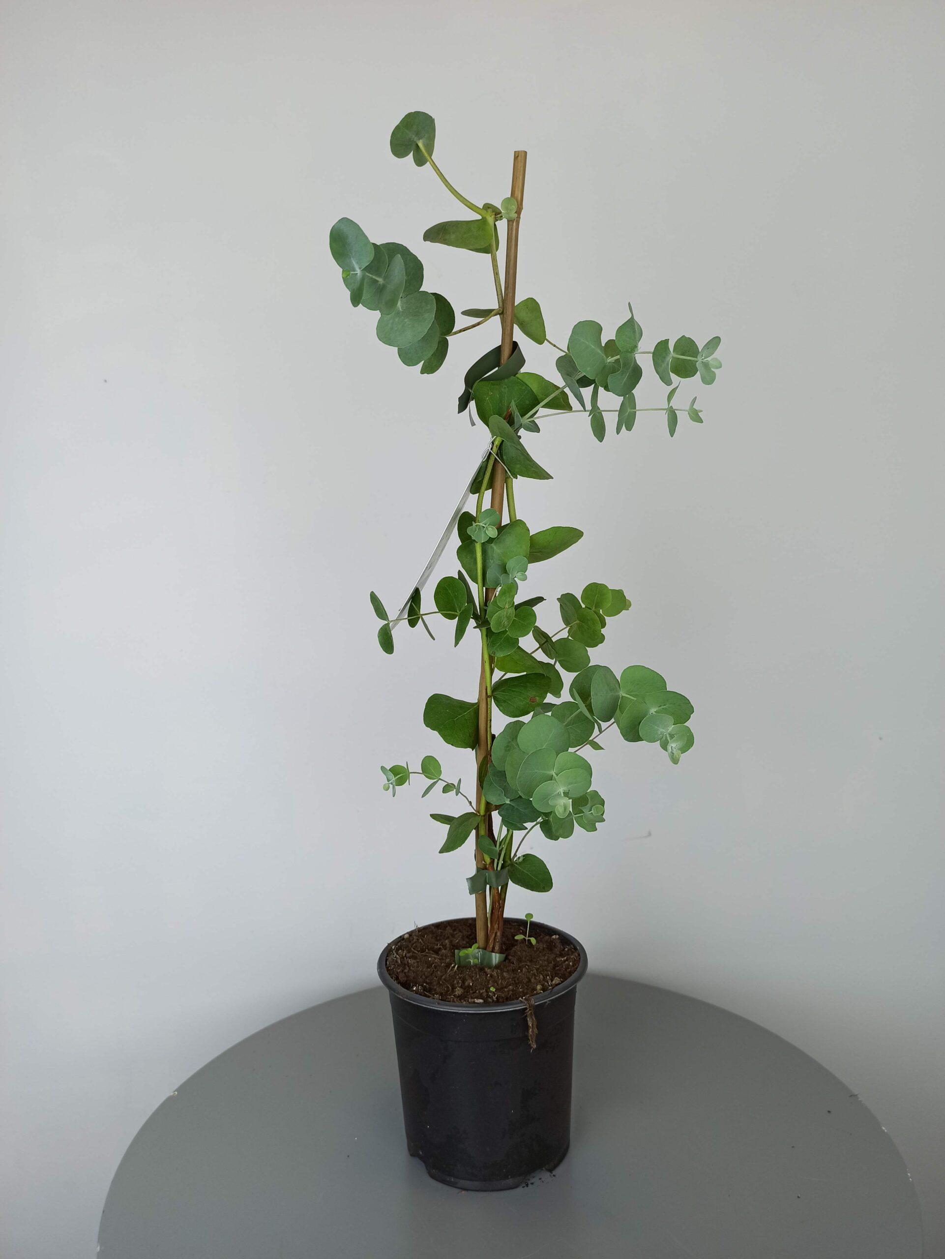 eucalipto cinerea